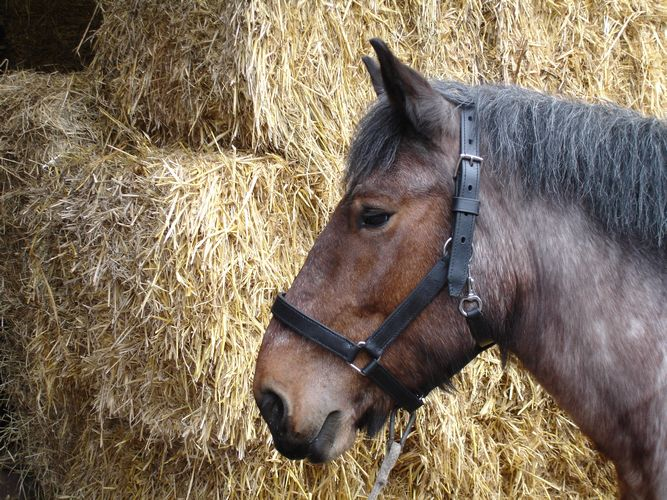 Heavy Marathon Shire Headcollar